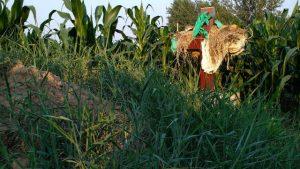 河南省安陽縣村民為防止墳頭的十字架被拆,用稻草包裹掩蓋(知情人提供)